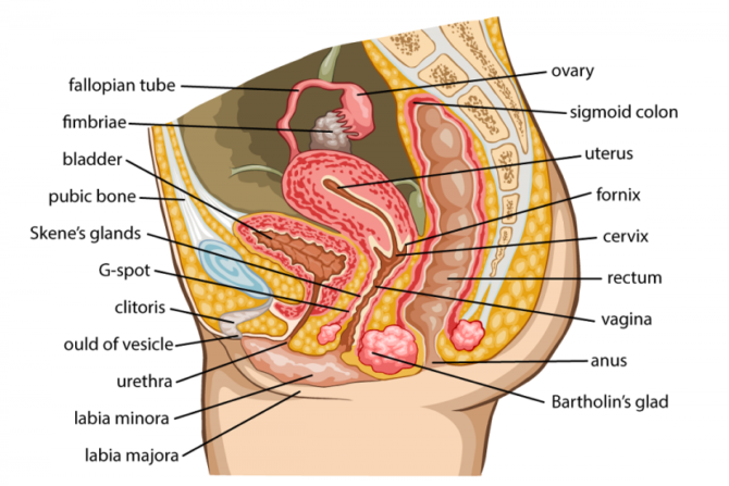 Female reproductive system healthinfi activity of female reproductive system is controlled by sex glands ovaries produced the female sex hormones such as estrogen and progesterone ccuart Image collections