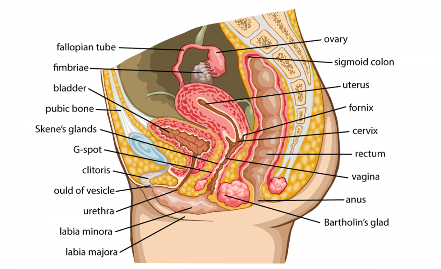Female reproductive system healthinfi female reproductive system diagram ccuart Choice Image